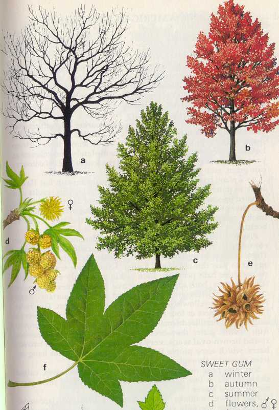 Liquidambar styraciflua for Garden design under gum trees